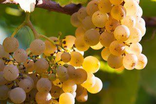 Albarino bunch on vine