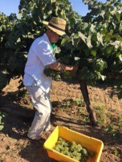 David Lucas harvesting in the vineyard