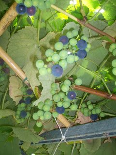 Grapes above us in a pergola on Angelo's property
