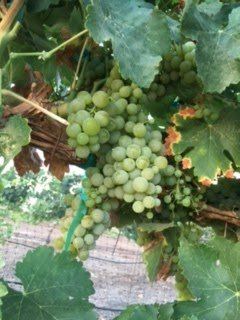 Symphony grapes ready for harvest at Coruce Vineyards
