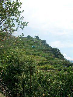 Terraced vines in Cinque Terre
